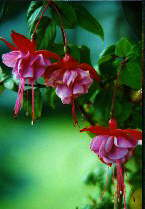 Fuschia by Cheryl Lynne Bradley, all rights reserved