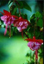 Fuschia by Cheryl Lynne Bradley, all rights reserved