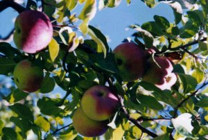 Apples in the Tree (c) Cheryl Lynne Bradley (c)1997-2010